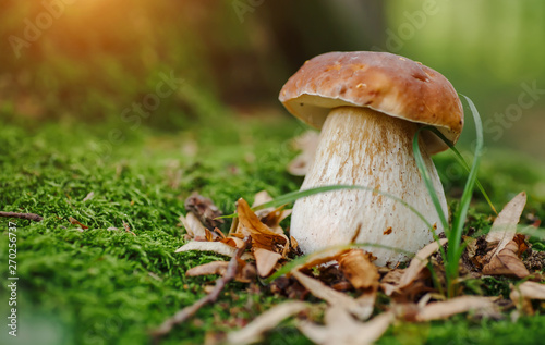 Fotografie, Tablou  Mushroom in forest Porcino, bolete, boletus