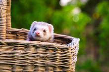 Ferret In A Wicker Basket