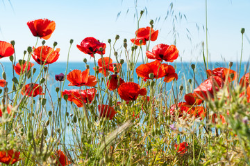 Red poppies and other flowers with a green grass on a meadow. Summer wild meadow flowers against the background of the blue sky with clouds