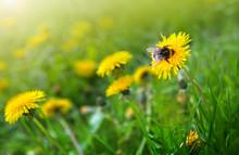 Macro Shot On Dandelion Flowers And Big Bumblebee.