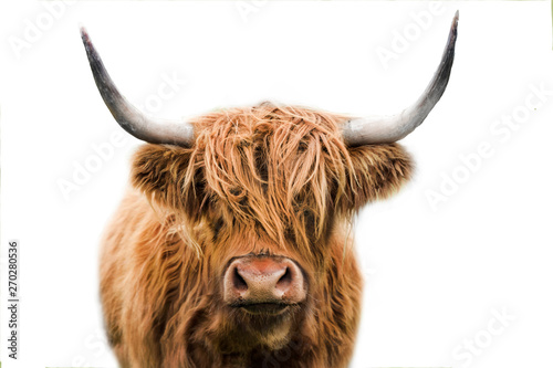 Canvas Prints Cow highland cow