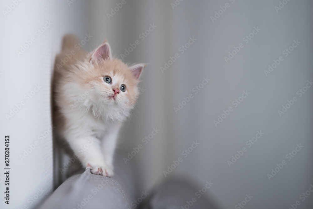 Fototapety, obrazy: playful red cream colored maine coon kitten walking along the edge of a gray couch