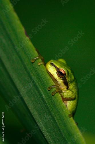 green tree frog on leaf Canvas Print