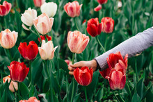 Child Picking A Flower From A Tulips Field