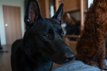 Portrait Of A Black Dog With P...