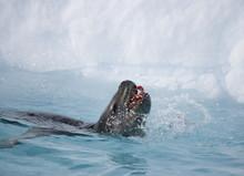 Leopard Seal Feeding On A Peng...