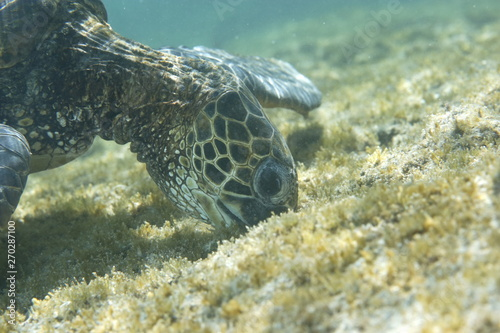 Pinturas sobre lienzo  Green sea turtle feeding near the Hawaiian Islands