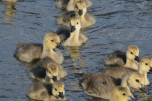 Close Up Of Group Of Canada Goose Goslings Swimming To Shore In Group
