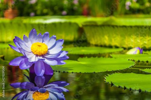 Fototapeta Lilia wodna  water-lily-in-pond