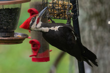 Pileated Woodpecker (Dryocopus...