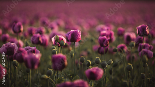 Poster Crimson Field of lilac Poppy Flowers on sunset in early Summer