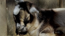 Sleeping Baby Goat Close Up. Y...