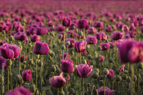 Recess Fitting Crimson Field of lilac Poppy Flowers on sunset in early Summer