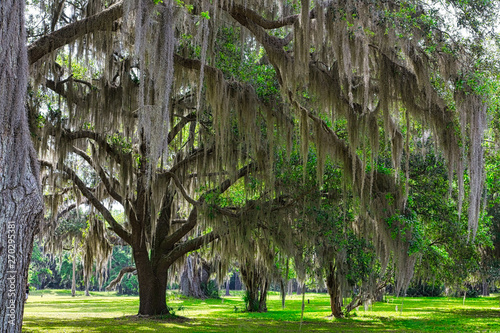 Foto  Spanish Moss growing on old oak trees in the southern United States