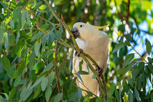The Yellow-Crested Cockatoo