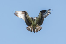 Flying Osprey Bird