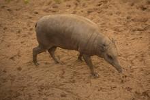 Babirusa, Deer-pigs. (Babyrous...