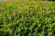 View Of Mimosa Strigillosa, Gr...
