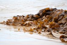 Brown Kelp Seaweed On The Beach