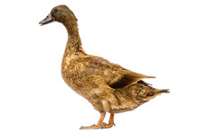 Brown Khaki Campbell Duck On A...