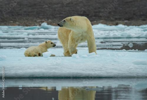 Poster Polar bear Polar bear mother & cub