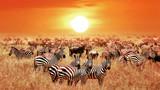 Fototapeta Sawanna - Zebras at sunset in the Serengeti National Park. Africa. Tanzania.