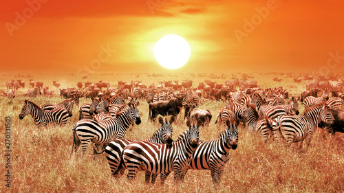 Poster Zebra Zebras at sunset in the Serengeti National Park. Africa. Tanzania.
