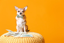 Cute Chihuahua Dog With Money On Wicker Pouf Against Color Background
