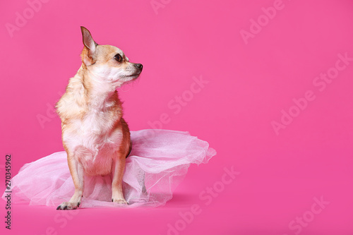 Fotografía Cute chihuahua dog in skirt on color background