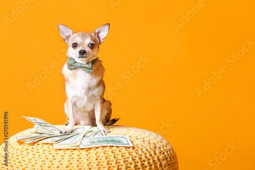 Śliczny chihuahua pies z pieniądze na łozinowej pufie przeciw koloru tłu