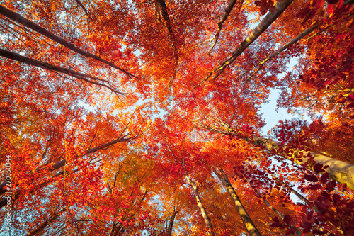 Foto auf Leinwand Rot kubanischen Bottom view of the tops of trees in the autumn forest. Splendid morning scene in the colorful woodland. Beauty of nature concept background.