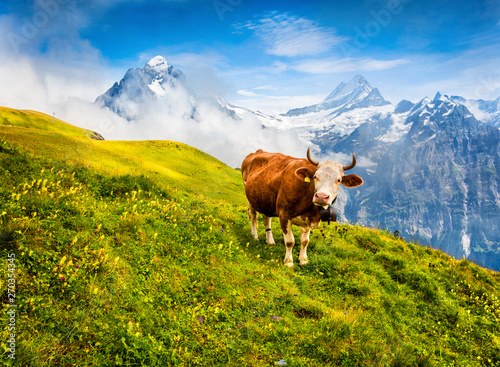 Foto auf Gartenposter Kuh Cattle on a mountain pasture. Colorful morning view of Bernese Oberland Alps, Grindelwald village location. Schreckhorn summit in the morning mist. Switzerland, Europe.