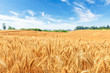 canvas print picture - Yellow wheat field and blue sky