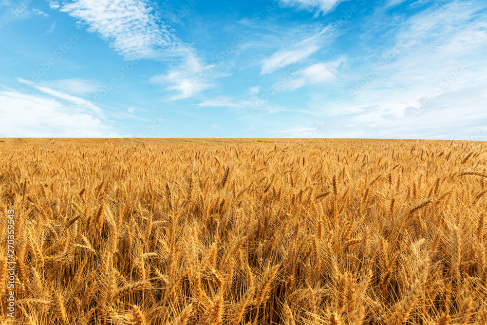 Fototapeta Yellow wheat field and blue sky