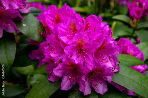 Tuinposter Azalea Rhododendrons en fleurs
