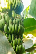 Bunch Of Bananas Growing On Ba...