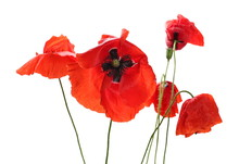 Red Poppy Flowers Isolated On ...