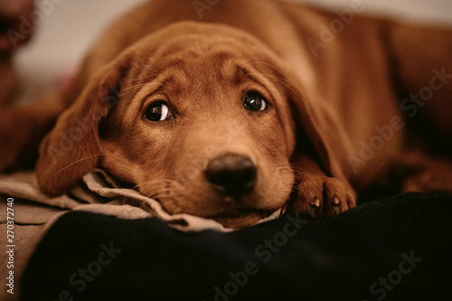 Foto  cute light-brown labrador retriever puppy