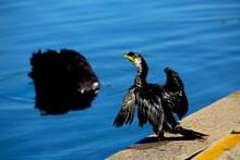 A Young Great Cormorants Curiosity