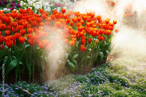 Photo  The beautiful blooming tulips in garden