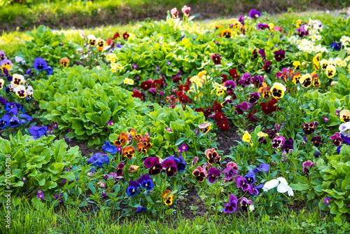Papiers peints Pansies Beautiful Pansies or Violas growing on the flowerbed in garden. Garden decoration