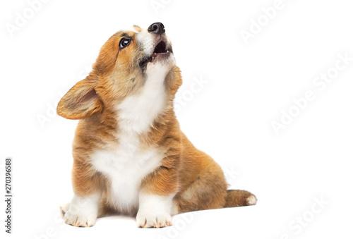Obraz na plátně barking puppy looking up