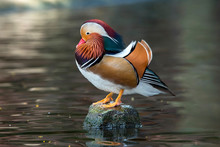 The Beauty Of Mandarin Ducks The Color Of The Fur Is Extremely Beautiful.