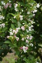 Japanese Weigela Flowers
