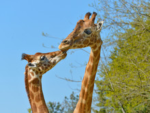 Closeup Giraffes (Giraffa Came...