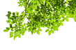 Leinwanddruck Bild - Green tree leaves and branches isolated on white background