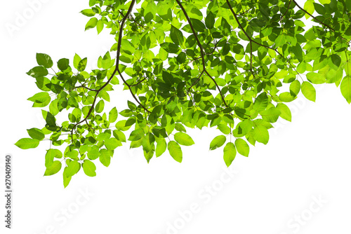 Canvastavla Green tree leaves and branches isolated on white background