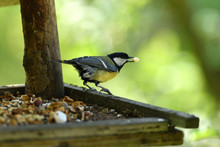 Titmouse Bird With Food In Bea...
