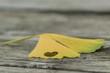 Lying Ginkgo leaf