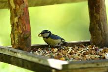 Titmouse Bird With Food In Beak On Fodder Rack Detail